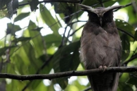 Un hibou dans le parc national Yasun, en Equateur,  la biodiversit exceptionnelle. 